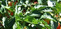 Sweet Peppers, photo by Brenda Dawson for San Bernardino County Master Gardeners Blog