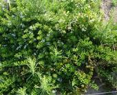 Jasmine Myoporum Weeds