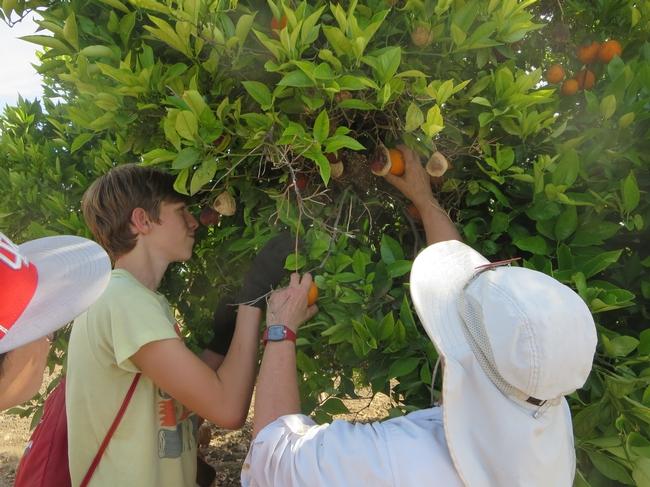 Master Gardener volunteers educate youth about citrus varieties and pruning.