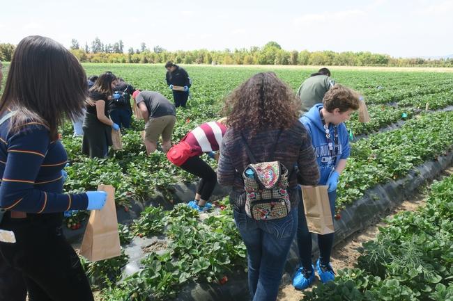 Harvesting berries