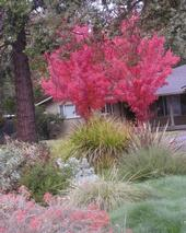 Red maples in my neighbor's front garden.