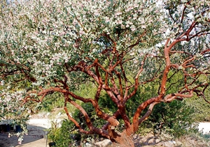 Manzanita pruned to reveal the beautiful bark and branching structure