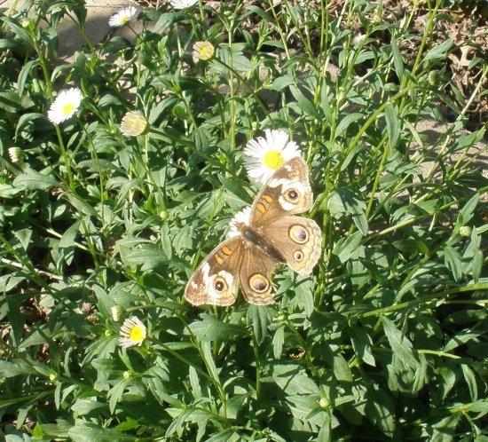 Buckeye butterfly nectaring on Santa Barbara daisy