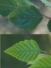 Healthy leaf (top) and leaf suffering from iron chlorosis (bottom)