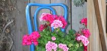 chair for What's Growing On - San Joaquin UC Master Gardeners Blog