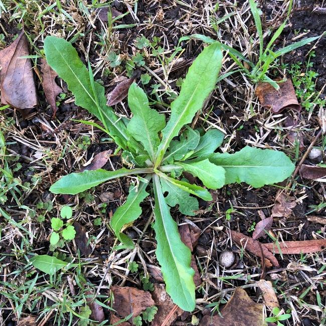 Prickly Lettuce Rosette