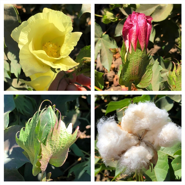 Cotton flowers and boll