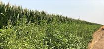 Palmer along corn for Notes in the Margins: Agronomy and Weed Science Musings Blog