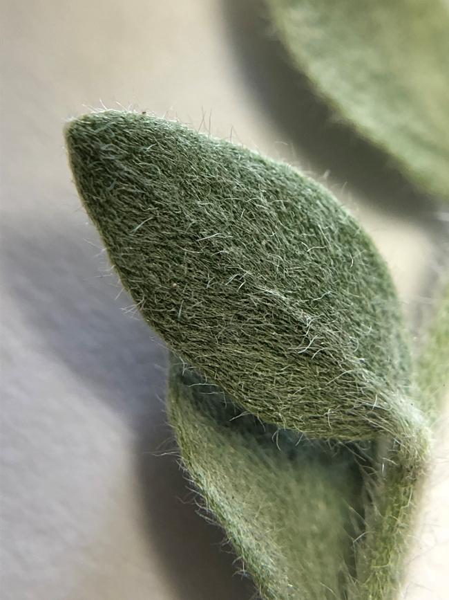 Alkaliweed hairs