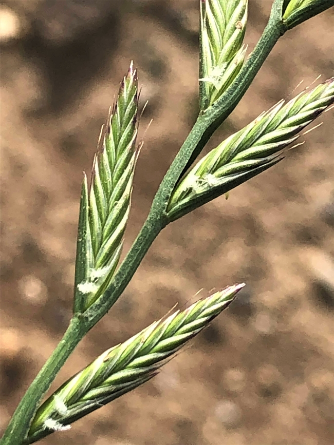 Ryegrass flowers