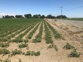 Bean field with soil compaction