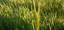 Immature two-row Malting Barley, Butta Variety, Sacramento Valley near Capay, CA for Sacramento Valley Field Crops Blog