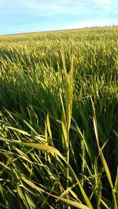 Immature two-row Malting Barley, Butta Variety, Sacramento Valley near Capay, CA