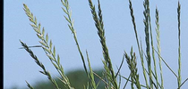Italian ryegrass – Lolium multiflorum (Photo by Joe DiTomaso) for Sacramento Valley Field Crops Blog