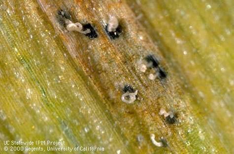 Spore masses exuding from pycnidia of Septoria trtici