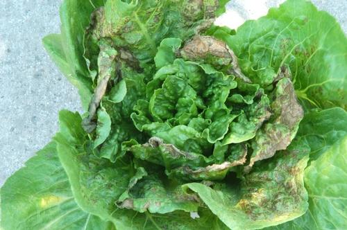 Lettuce INSV 1
