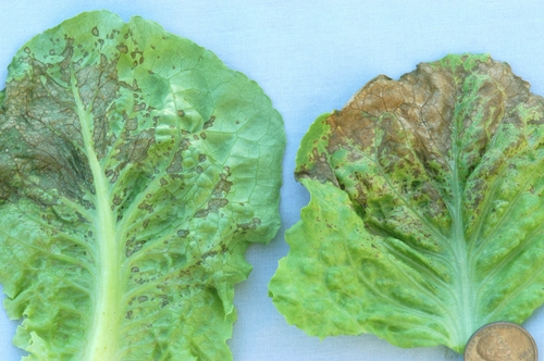 Lettuce INSV 3