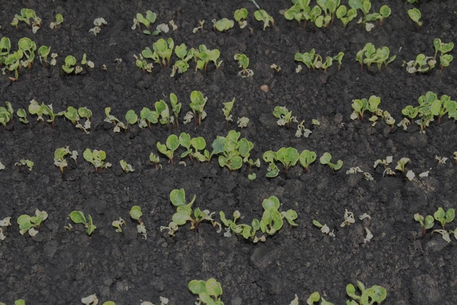 Figure 3. Dying Arugula seedlings at emergence after bagrada bug feeding.