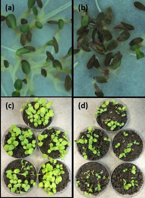 Fig. 2. Effects of springtail on germinating lettuce seeds exposed (a) without soil and springtail, (b) without soil but with springtail, (c) with soil but without springtail and (d) with soil and springtail.