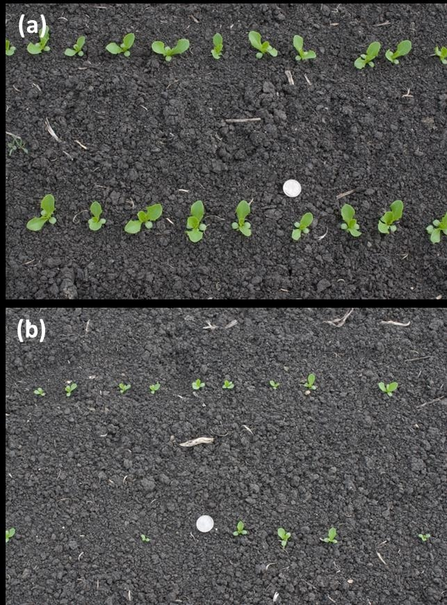 Fig. 6. Effect of springtail feeding on young seedling of lettuce in the field after (a) insecticide treated, and (b) untreated check  (Photo: Steve Koike).