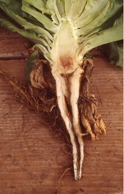 Photo 1. Lettuce with ammonium toxicity showing discoloration and hollowing out of the core of the taproot.