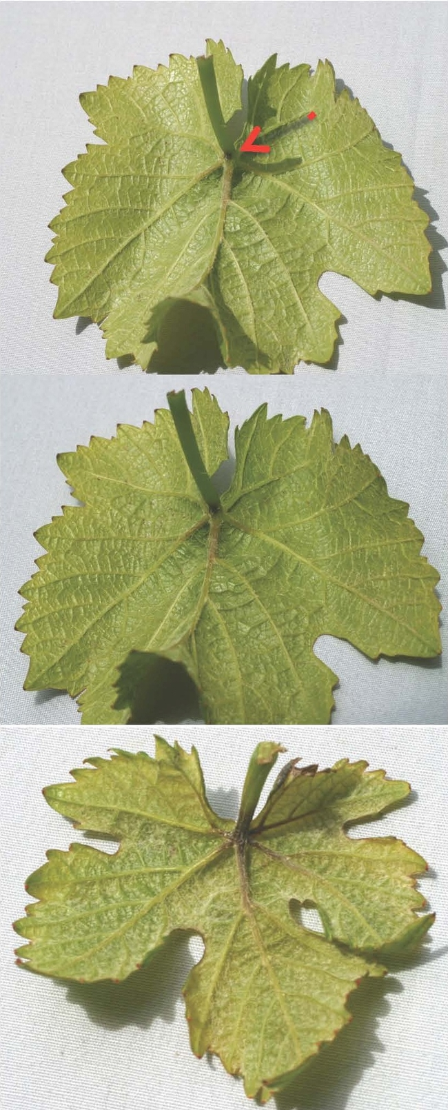 Note the progression of the dark necrotic tissue forming in the upper picture and increasing in the other picture in the apical end of the petiole and the base of the main leaf veins of these Pinot noir leaves.