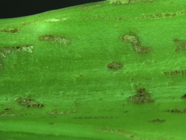Fig. 6: Thrips feeding injury on celery.