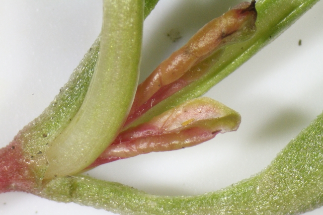 Fig. 7: Thrips feeding injury on young seeding of Swiss Chard.