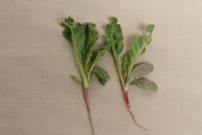 Fig. 8: Thrips feeding injury on young seeding of Swiss Chard causing leaf deformation.