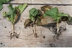4. Fertilizer burn (1-2 deep in soil)