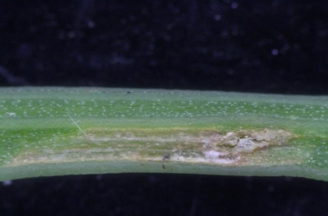 Fig 8. Lygus bug egg laying injury on celery