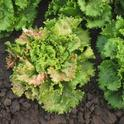 lettuce insv 12