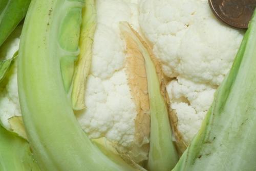 CauliflowerTipburn1