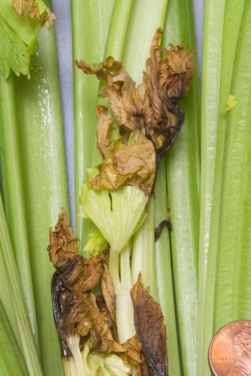 CeleryBlackHeart1
