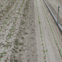 Figure 1. On left: Kerb at 3.5 pints/A applied at planting; On right Kerb at 3.5 pints/A + Prefar at 1.0 gallon/A applied at planting. The main weed is common purslane which  was not controlled by Kerb because it was pushed below the zone of germinating  weed seeds by the germination water