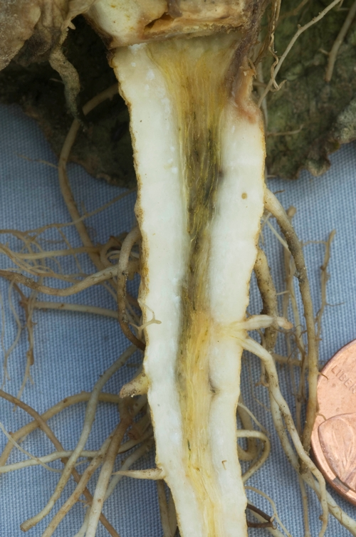 Discoloration of the central core of the lettuce root is characteristic of ammonium toxicity.