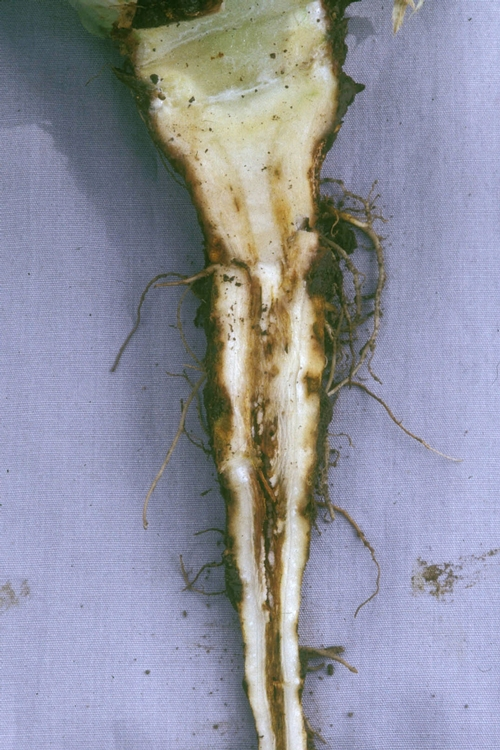 Ammonium toxicity can cause the lettuce root to develop a central hollow cavity.