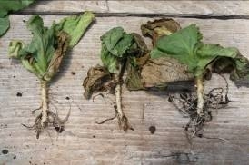 Photo 2. Plant with the tap root burned of 1.5-2.0 inches down  in the soil