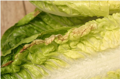 Photo 1. Tipburn symptoms along the edge of an inner leaf or romaine lettuce.