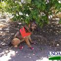 Canine Maci in the Rio Grande Valley of Texas.