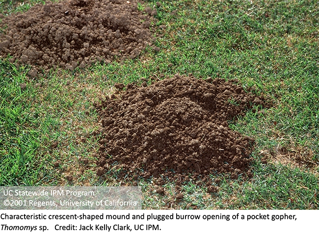 Crescent-shaped mound and plugged burrow opening of a pocket gopher