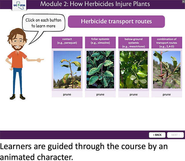 """Screen from the course, Module 2: How Herbicides Injure Plants with cartoon person and text bubble """"Click on each button to learn more"""". Person is pointing to the images demonstrating different herbicide transport routes including contact (e.g. paraquat), foliar systemic (e.g. simazine), below ground systemic (e.g. mesotrione), and combination of transport routes (e.g. 2,4-D). Each example is accompanied by a photo of symptoms caused by the given herbicide  on prune."""