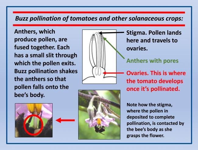 Buzz pollination diagram
