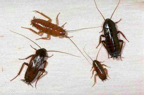 Oriental cockroach colony. (Credit: Jack Kelly Clark, UC IPM)