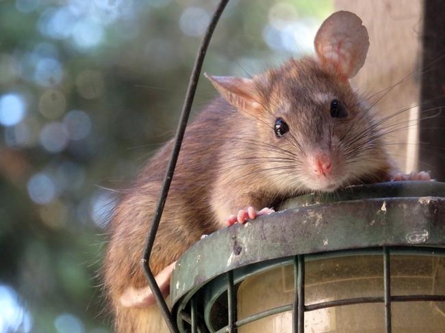 Rat on a bird feeder.