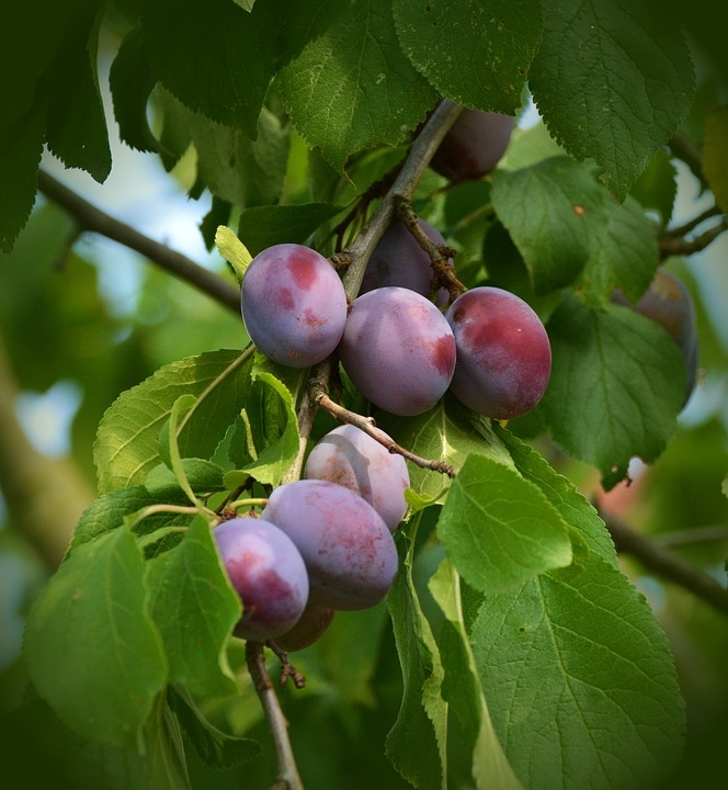 Premature Fruit Drop Is Common In Many Fruit Tree Species The Stanislaus Sprout Anr Blogs