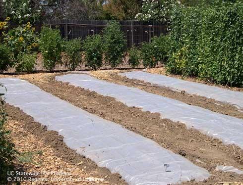 Solarizing planting beds in a garden. (Karey Windbiel-Rojas, UC IPM)