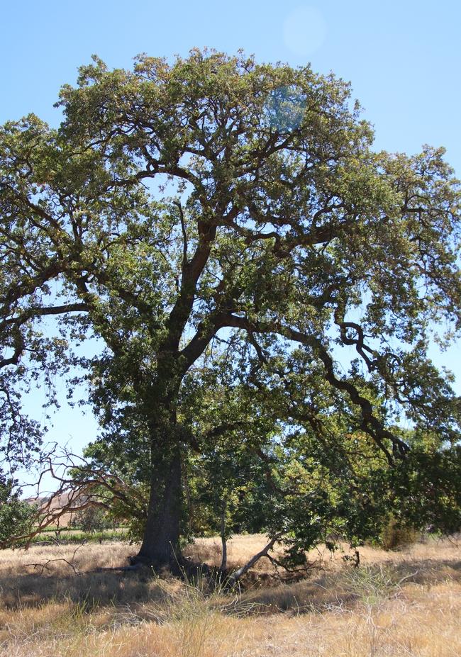 Tall oak tree in a field.