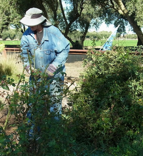Eric Mussen pruning roses.