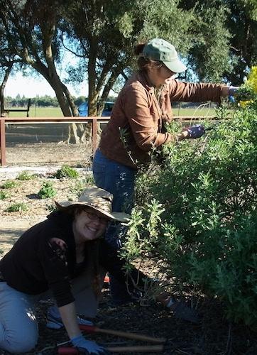 Kimiora Ward and Katharina Ullman pruning Cleveland sage.